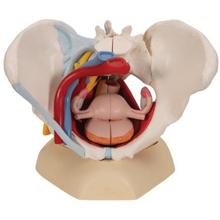 Weibliches Becken mit  Organen, 6-teilig