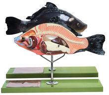 ZoS 105 Anatomie eines Knochenfisches