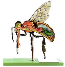 ZoS 47/1 Modell der Arbeitsbiene