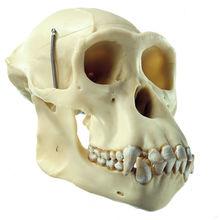 ZoS 53/107 Künstlicher Schimpansen-Schädel