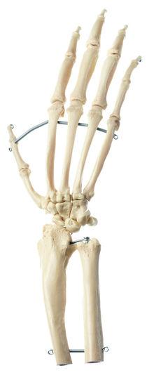 ZoS 53/131 Künstliches Schimpansen-Hand-Skelett