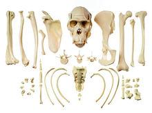 ZoS 53/142 Sammlung typischer Knochen vom Schimpansen