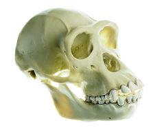 ZoS 53/2 Schimpansen-Schädel