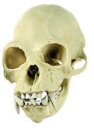 ZoS 53/7 Gibbon-Schädel