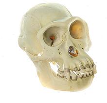 ZoS 53 Schimpansen-Schädel