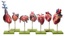 ZoS 54/1 Herzmodelle von Wirbeltieren